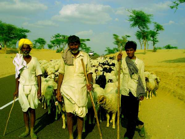pecore india