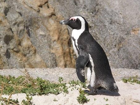 Sudafrica pinguini