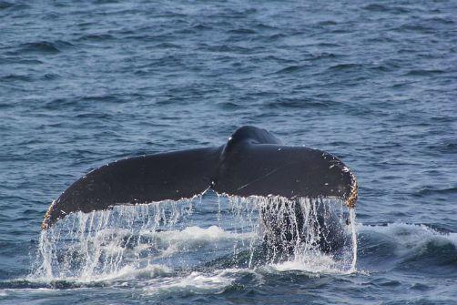 Coda balena