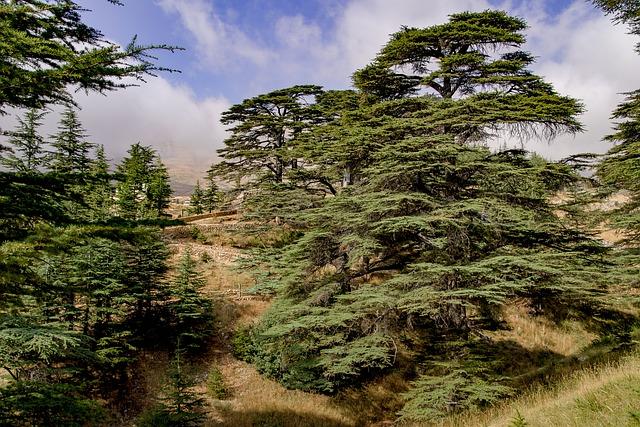Cedro del Libano albero
