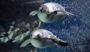 Pinguini acquario genova
