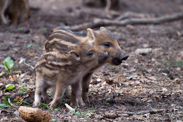 cuccioli di cinghiale, fauna del Soratte