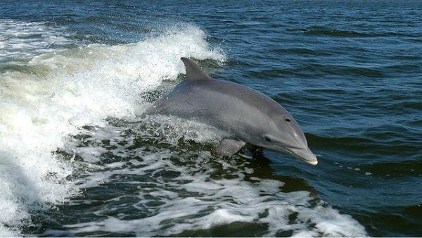 I delfini seguono la scia