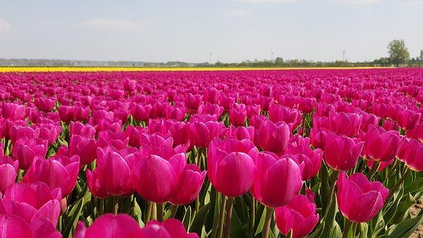 vedere tulipani in Olana