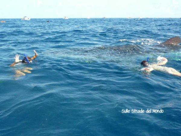 nuotare con gli squali balena