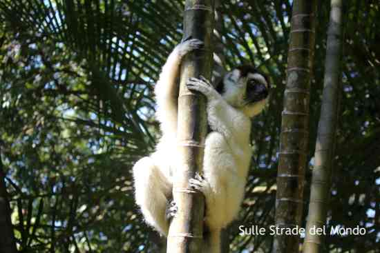 Lemure ballerino Nahampoana