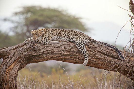 leopardo Kenya