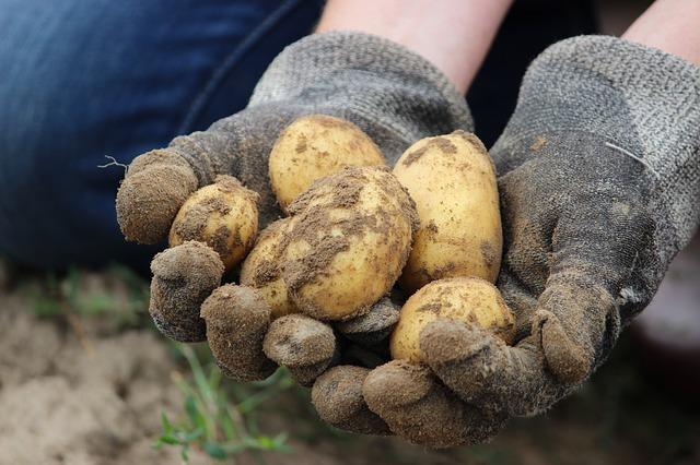 Contadino patate