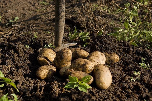 patate in terra
