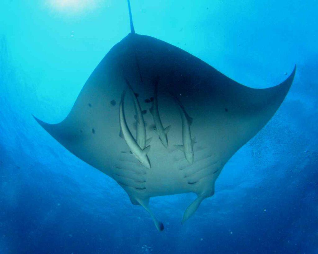 Nuotare con le mante, alle Maldive si può