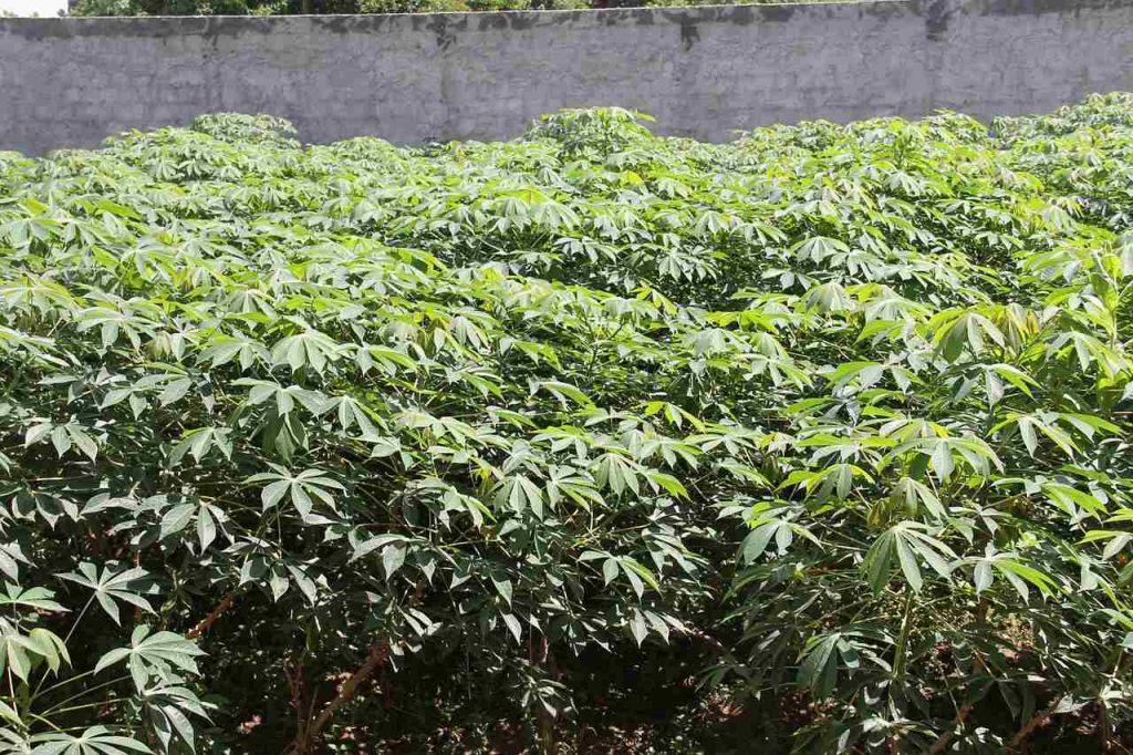 piantagione di manioca