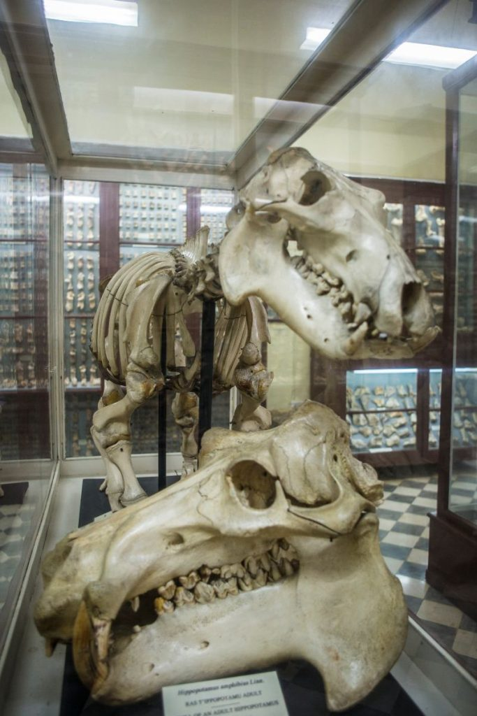 resti di animali al museo della Grotta di Ghar Dalam