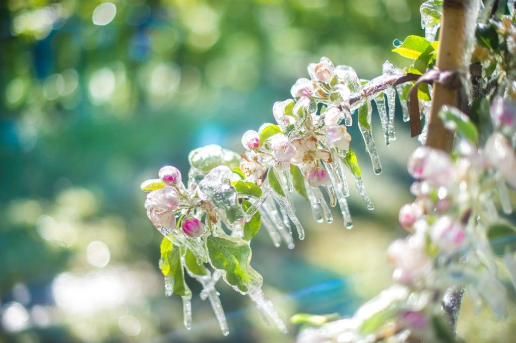 fiore di melo ghiaccio