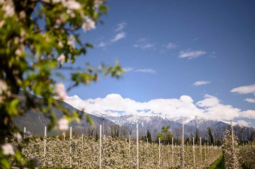 meleti in fiore Alto Adige