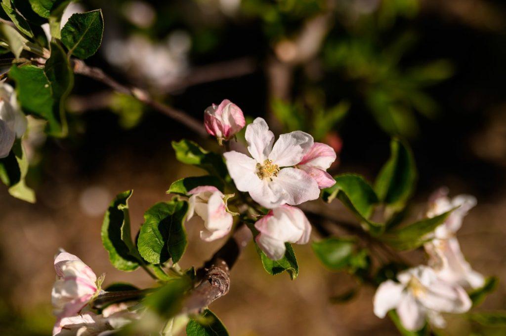 fiore di melo