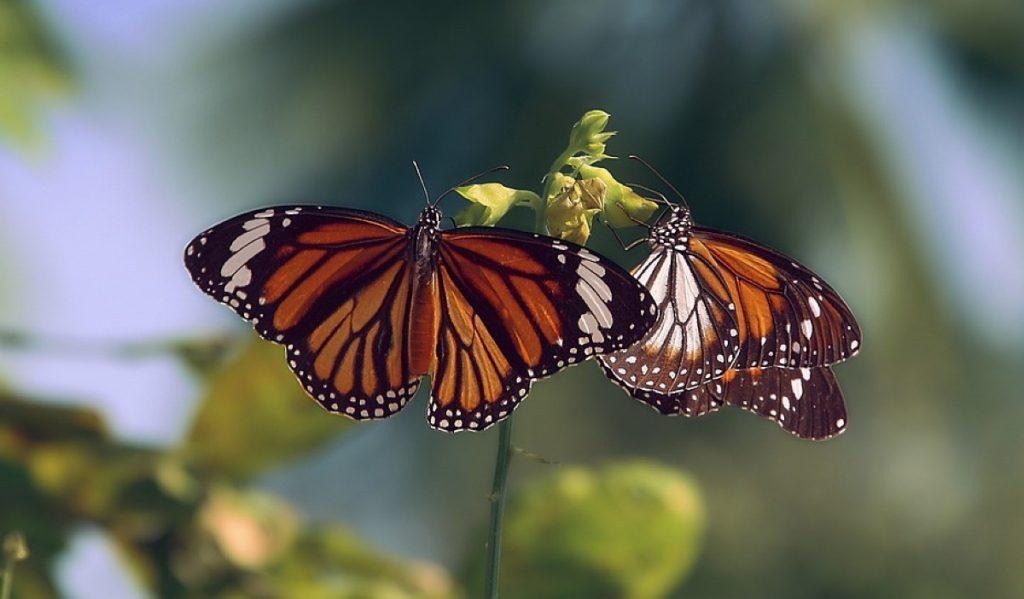 tra le 10 cose da fare in Messico vedere le farfalle monarca migrare