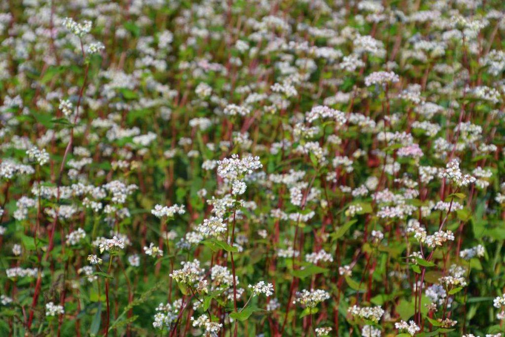 fioritura di grano saraceno