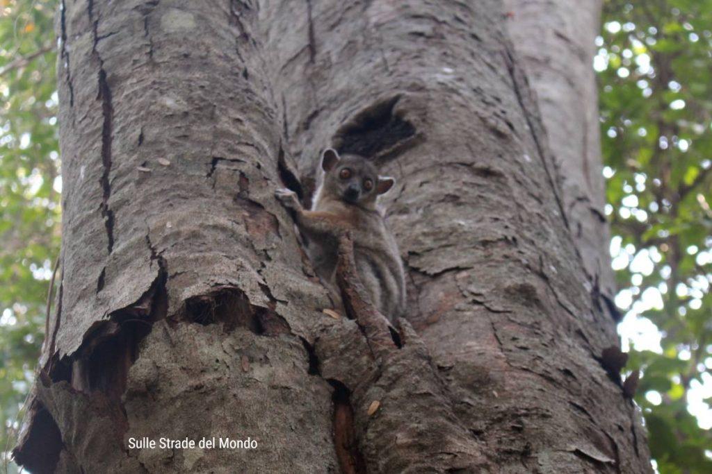 Agli Tsingy si trovano 11 specie di Lemuri del Madagascar